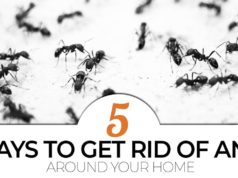 5 diy ways to get rid of ants